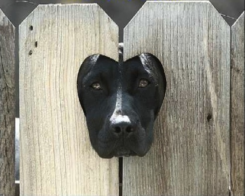 Black Lab in a Fence